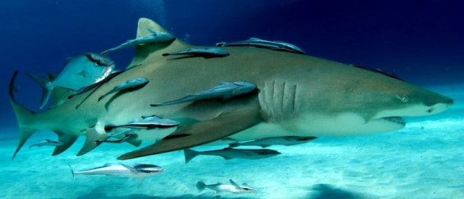 Nature Shark