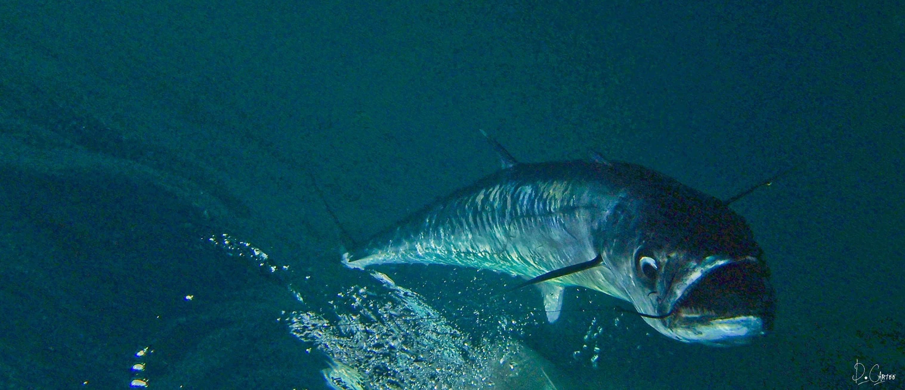 Kingfish on the line