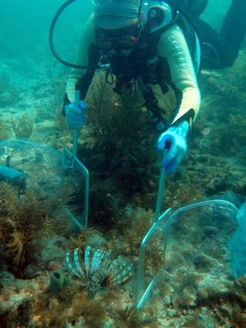 Lionfish-Being-Netted_359x479