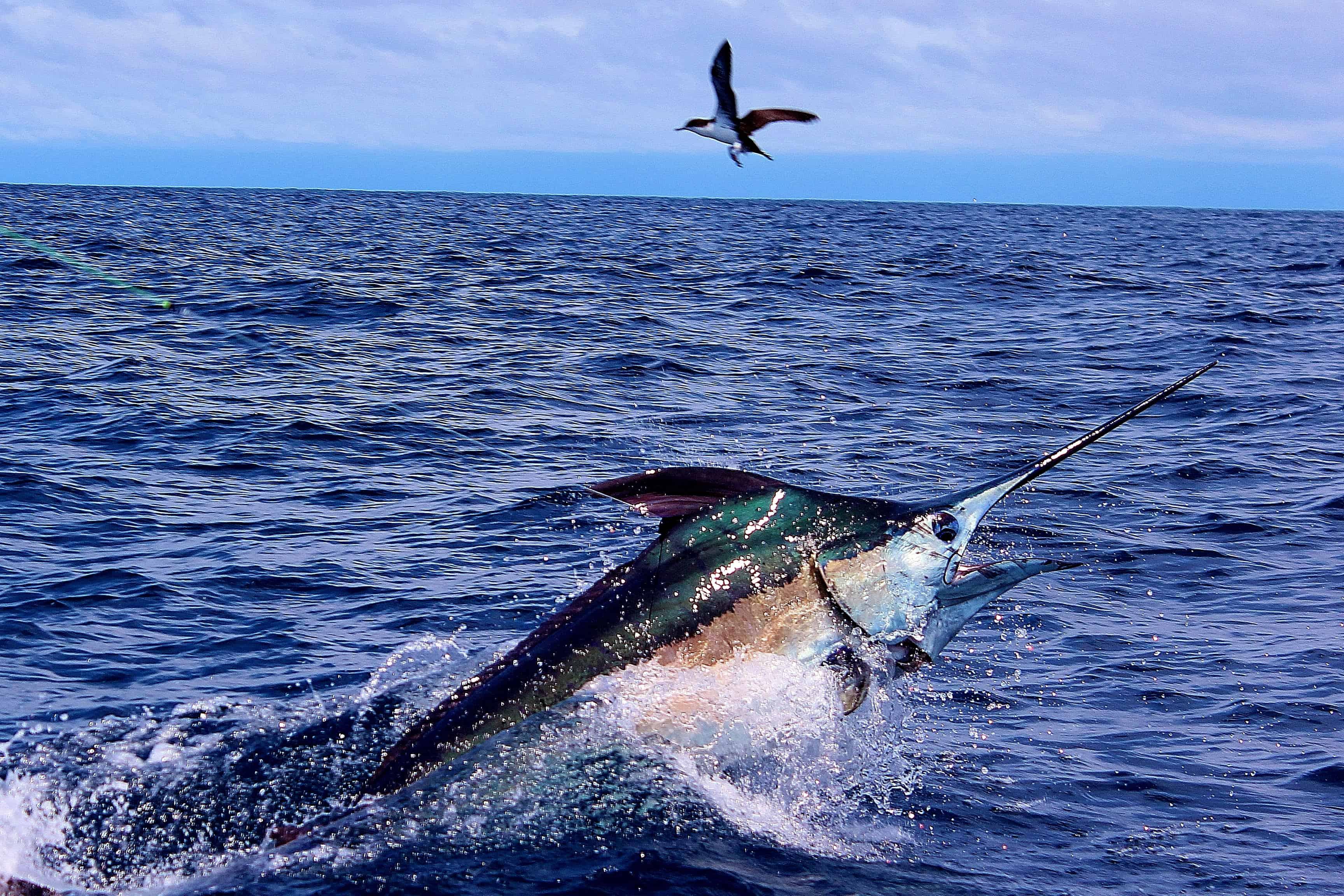 Rising Marlin