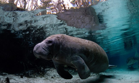 Visit the Manatee