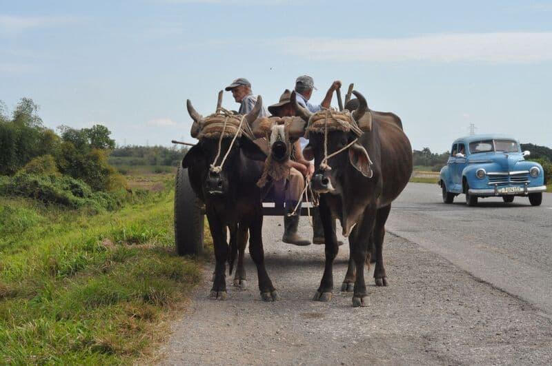 Cuba.mules