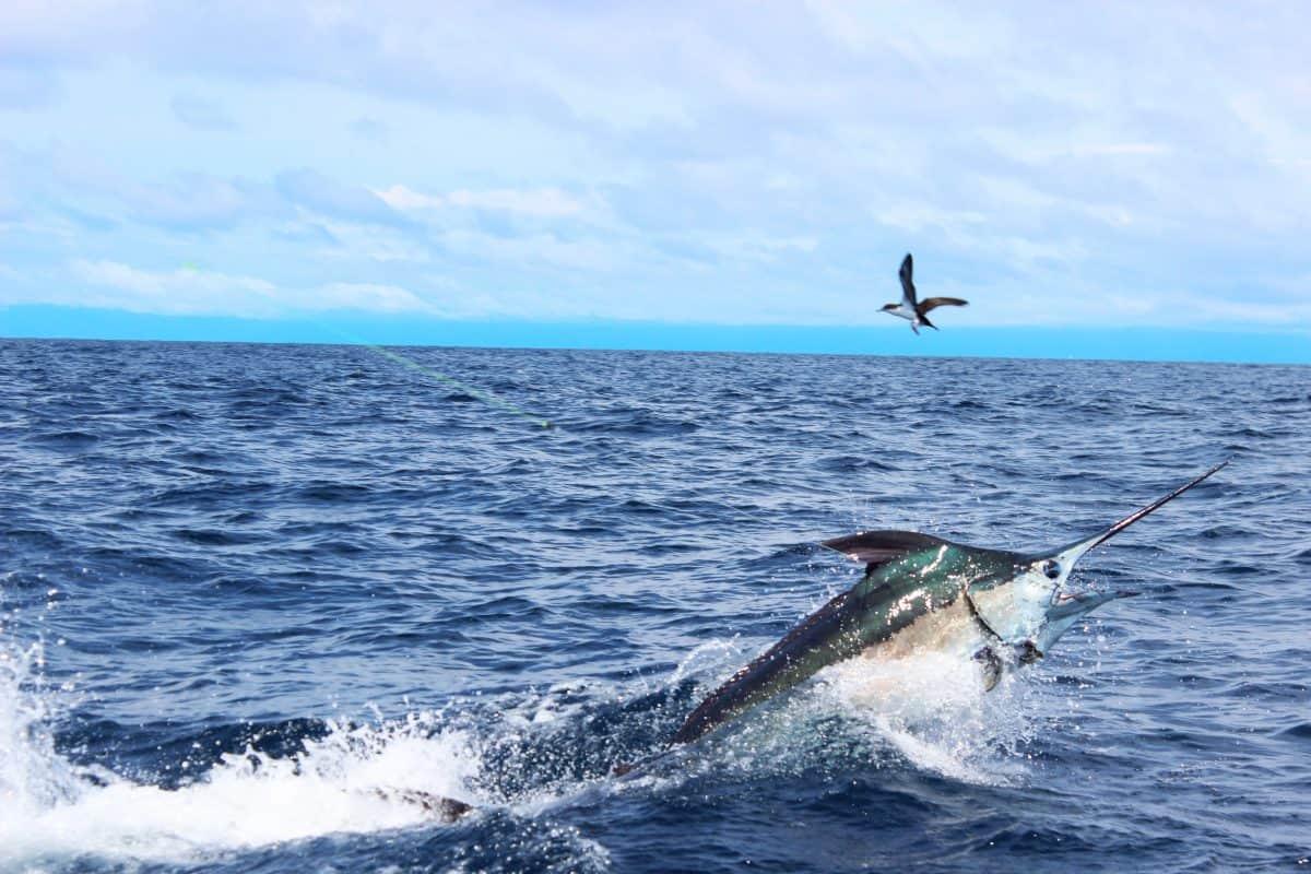 Panama Marlin