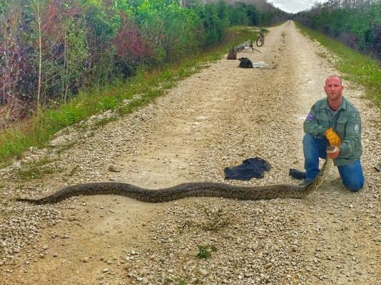 Swamp Apes Tackle Pythons in the Everglades