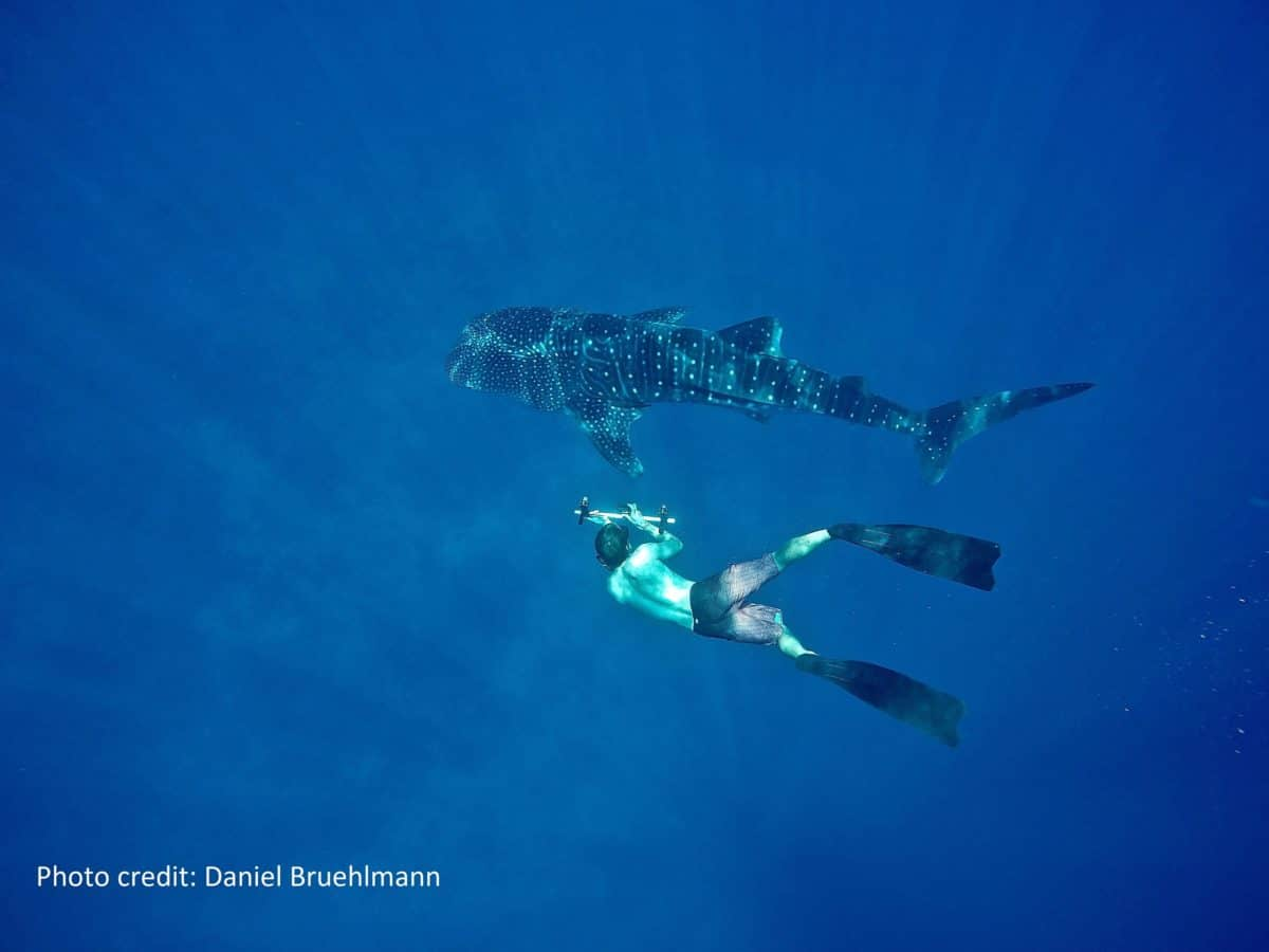 Novel Approach Studies Whale Shark ages the best way – while they are swimming