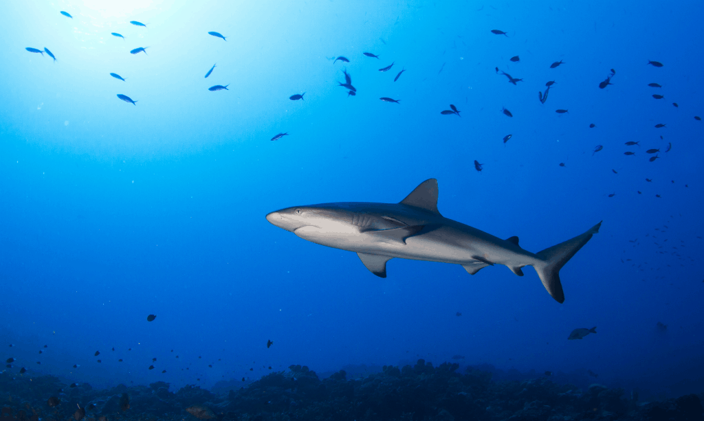 With Safe Smart Encounters Tour Operators Can Help Save Shark